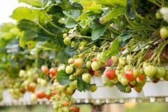 Rode aardbeien op wijnstok Royalty-vrije Stock Afbeelding