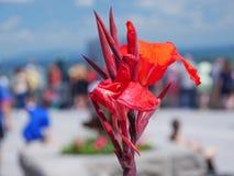 Rode abstracte natuurlijke achtergrond van grote bloemen in volledige bloei Royalty-vrije Stock Foto's