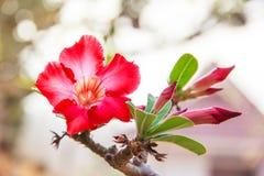 Rode Adenium-obesumbloem Royalty-vrije Stock Afbeeldingen