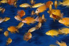 Rode Afrikaanse Cichlids Firefish Stock Afbeeldingen