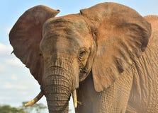Rode Afrikaanse Olifant, Kenia Stock Afbeelding