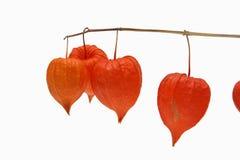 Rode alkekengi Physalis - de kruisbes van de Kaap Royalty-vrije Stock Foto's