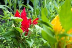Rode amaranthus Royalty-vrije Stock Foto's