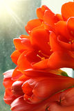 Rode amaryllis. royalty-vrije stock afbeeldingen