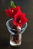 Rode amaryllis stock foto's