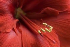 Rode amaryllis Stock Afbeeldingen