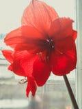 Rode amaryllis Stock Afbeelding