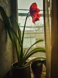 Rode amaryllis Royalty-vrije Stock Fotografie
