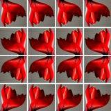 Rode Amaryllis-bloem binnen grijze vierkante vormen Royalty-vrije Stock Foto