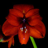 Rode Amaryllis Hippeastrum in volledige bloei Stock Foto