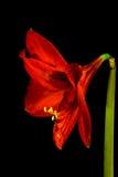 Rode Amaryllis Hippeastrum in volledige bloeiverticaal met stam Stock Afbeeldingen