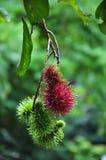 Rode & groene rambutan Royalty-vrije Stock Afbeeldingen