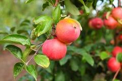 Rode Amuletappelen op de tak van de appelboom Stock Foto's