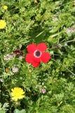 Rode Anemone Flower royalty-vrije stock foto