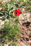 Rode Anemone Flower stock foto's