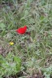 Rode Anemone Flower royalty-vrije stock afbeelding
