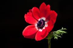 Rode anemoon die op zwarte wordt geïsoleerdp Royalty-vrije Stock Afbeelding