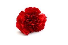 Rode anjer Royalty-vrije Stock Afbeeldingen