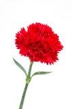 Rode anjerbloem Royalty-vrije Stock Afbeelding