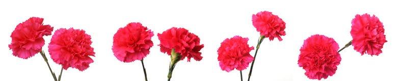 Rode anjerbloemen stock fotografie