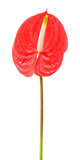 Rode anthurium royalty-vrije stock foto