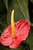 Rode anthurium Royalty-vrije Stock Afbeeldingen