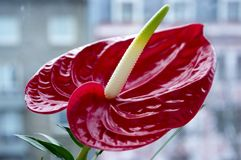 Rode anthuriumandraeanum in bloei royalty-vrije stock fotografie