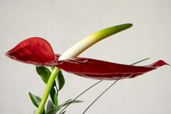 Rode anthuriumandraeanum in bloei stock afbeelding