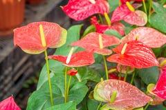 Rode Anthuriumbloem Stock Afbeeldingen