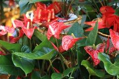 Rode Anthuriumbloem in botanische tuin Royalty-vrije Stock Foto