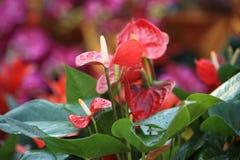 Rode Anthuriumbloem in botanische tuin royalty-vrije stock afbeelding