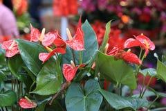 Rode Anthuriumbloem in botanische tuin stock afbeeldingen