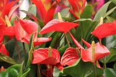 Rode Anthuriumbloem in botanische tuin Royalty-vrije Stock Foto's