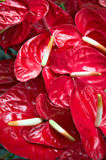 Rode Anthuriums Stock Afbeelding