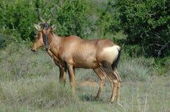 Rode antilope Hartebeest Royalty-vrije Stock Afbeelding