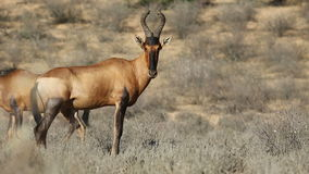 Rode antilopen Hartebeest stock video