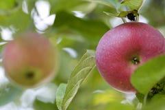 Rode appel Stock Foto
