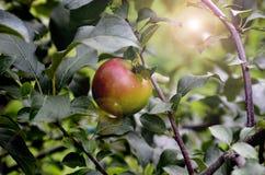 Rode appel in de tuin royalty-vrije stock afbeelding