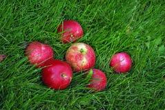 Rode Appel in Gras Stock Foto