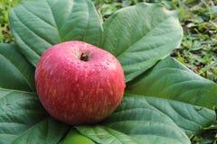 Rode appel op de bladeren Royalty-vrije Stock Foto's