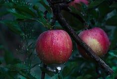 Rode appel op de tak met dalingen stock afbeeldingen