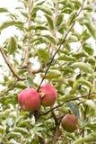 Rode appel op een boom met groene bladeren Stock Afbeeldingen