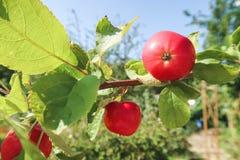 Rode appel op een tak in een tuin vroeg in de ochtend Verse sappige vruchten, biologische producten in het natuurlijke plaatsen v stock afbeelding