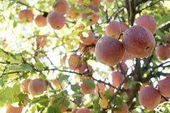 Rode appelboom Stock Foto