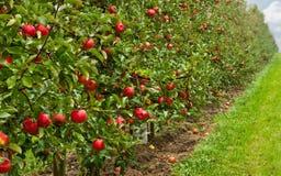 Rode appelboomgaard stock afbeelding