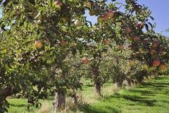 Rode appelboomgaard Stock Afbeeldingen