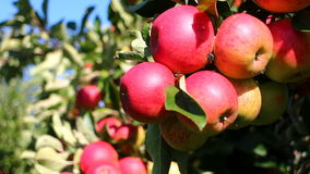 Rode appelen in boomgaard stock footage