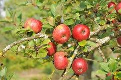 Rode appelen in de boom Stock Foto