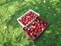 Rode appelen in dozen royalty-vrije stock fotografie