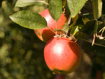 Rode appelen Fuji Royalty-vrije Stock Foto